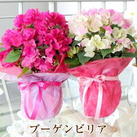 母の日のプレゼントギフトの花 鉢の贈り物 赤 ピンク 鉢植え 送料無料 花鉢 母 2021 プレゼント 産地直送 ブーゲンビリア ブーゲンビレア 5号鉢