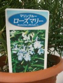 【立ち性ローズマリー・マリンブルー】(4号)キッチン用ハーブ・常緑樹