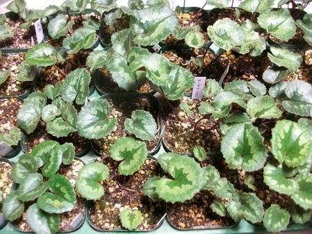 【希少!】【原種シクラメン苗・スーダベリカム】球根植物