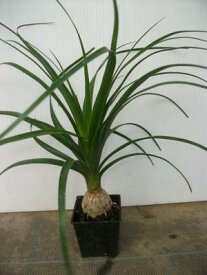 【トックリラン】(3号ポット)小型観葉植物・ポニーテール・ノリナ