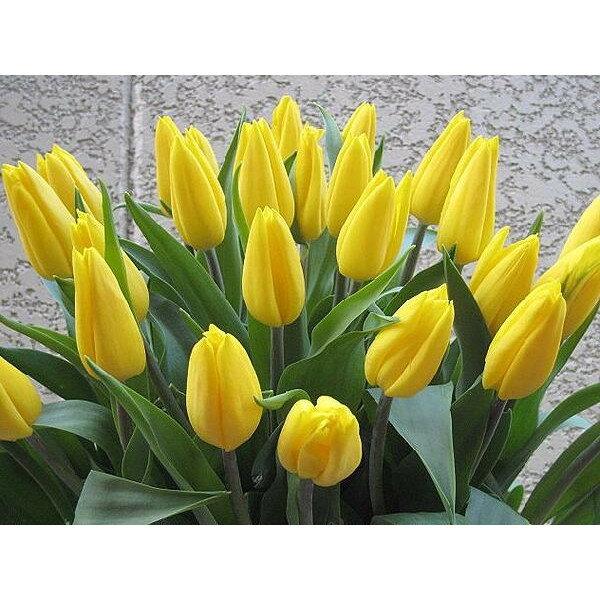 お誕生日記念日の贈り物に。高品質!チューリップの花束!