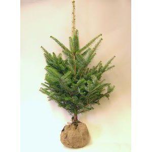 モミの木 【もみの木高さ200cm】クリスマスツリーに最適!