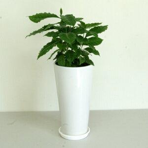 観葉植物 コーヒーの木6号高陶器鉢(半成品) 高さ 約50cm