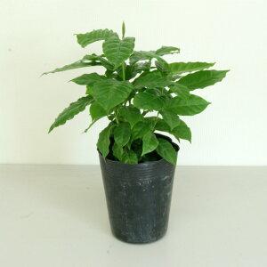 観葉植物 コーヒーの木6号ポリポット(半成品) 高さ 約40cm