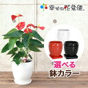 観葉植物 アンスリューム・ロイヤルチャンピオン5号陶器鉢|(白赤黒)高さ約55cm【アンスリウム 開店祝い 新築祝い 誕生日プレゼント 引…
