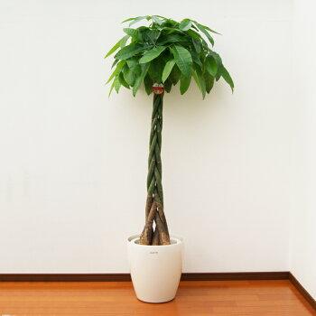 【送料無料】パキラ10号鉢(鉢カバー付き)H約1.7m