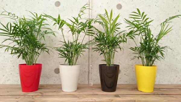 テーブルヤシ3.5号プラスチック鉢 4鉢セット(グレー、レッド、イエロー、ブラック 各1鉢)  高さ 25〜30cm