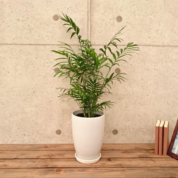テーブルヤシ6号丸陶器鉢 1鉢  高さ 約70cm(プラスチック製受皿付)