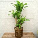 観葉植物 幸福の木8号プラスチック鉢(竹カゴ)  高さ約1.2mドラセナ・マッサンゲアナ【大型 開店祝い 新築祝い 引越し祝い インテリア …