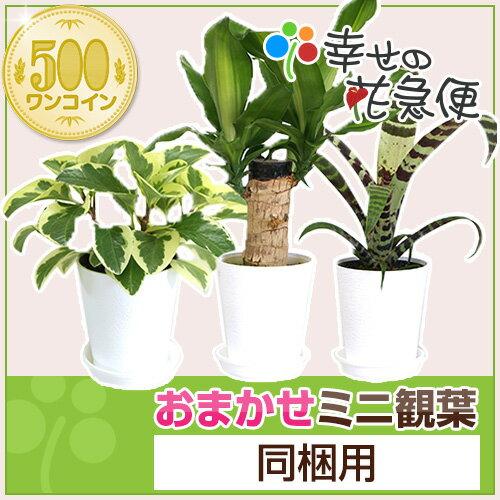 ミニ観葉植物【同梱用】1鉢500円※鉢・土のみとの同梱不可【05P06Aug16】