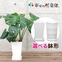観葉植物 モンステラ6号プラスチック鉢|(白) 高さ約60cm【開店祝い 新築祝い 誕生日プレゼント 引越し祝い インテリア…