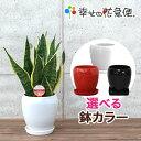 観葉植物 サンスベリア・フツーラ5号丸高陶器鉢|(白赤黒) 高さ約40cm【サンセベリア トラノオ 新築祝い 誕生日プレゼント 引越し祝い …