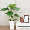 観葉植物 フィカス・ウンベラータ6号プラスチック鉢| 高さ約60cm【開店祝い 新築祝い 誕生日プレゼント 引越し祝い インテリア アジア…