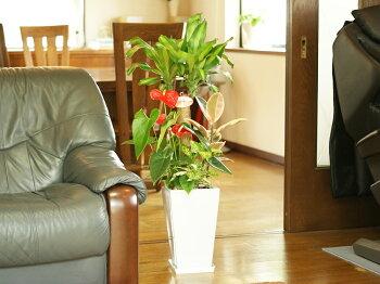 観葉植物寄せ植え(幸福の木)7号角陶器鉢 (白黒)高さ約1m【開店祝い新築祝い誕生日プレゼント引越し祝いインテリアおしゃれな植木鉢送料無料】【smtb-ms】