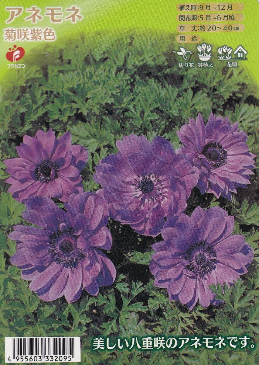 アネモネ 菊咲 紫色【秋植え球根】