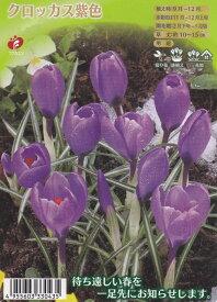 クロッカス 紫色 12球【秋植え球根】