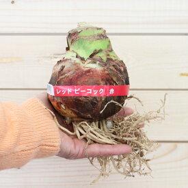 スーパージャンボ八重咲きアマリリス1球【サカタのタネ】