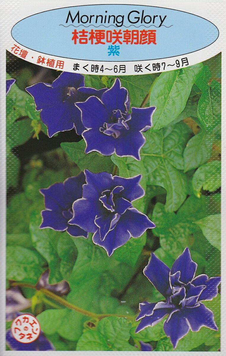 アサガオ桔梗咲朝顔 紫【種子】福花園種苗