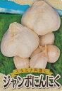 ジャンボニンニク 種約500g入(充填時)国産