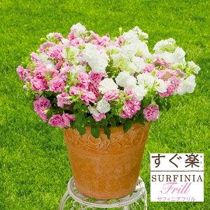 【サントリー】すぐ楽サフィニアフリル3.5号 花付き苗
