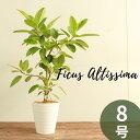 【立札無料】 フィカス アルテシーマ 8号 受け皿付き アルテシマ 観葉植物 おしゃれ ゴムの木 観賞用 インテリアグリ…