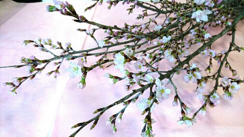 3月1日までポイント10倍 予約受付中 人気です 切花 桜の木 お部屋で お花見  1本 生花