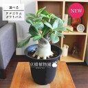 【現品】アデニウム・オクトパス 4.5号 黒鉢(16〜20)【選べる観葉植物】【希少種】【植物 インテリア おしゃれ 人気…