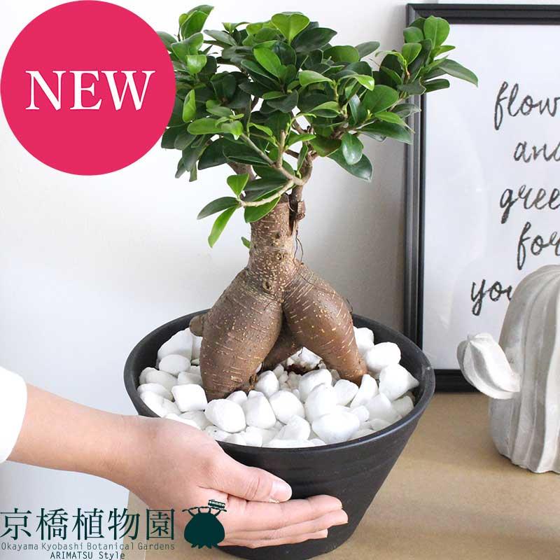 ガジュマル 7号 黒セラアート鉢【送料無料】【観葉植物 プレゼント お洒落】