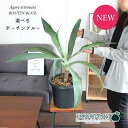 【現品】アガベ アテナータ ボーチンブルー 8号【選べる観葉植物】【肉厚の葉が魅力的】【希少品種】【植物 インテ…