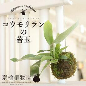 コウモリランの苔玉【インテリア おしゃれ 人気 楽天 通販 ギフト プレゼント】