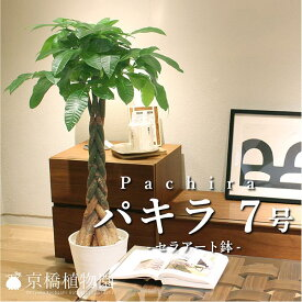 ★パキラ 7号(セラアート鉢)【インテリア おしゃれ 人気 楽天 通販 ギフト プレゼント】