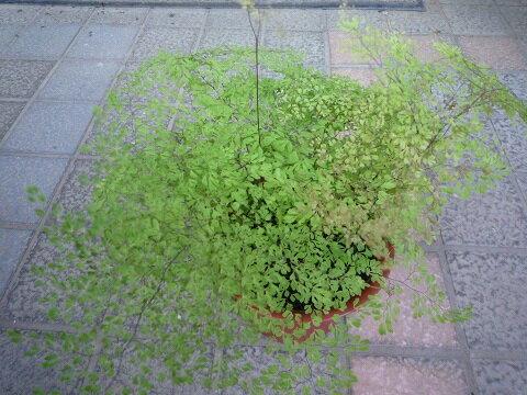 葉が細かいアジアンタム ミクロフィラム(マイクロアジアンタム)