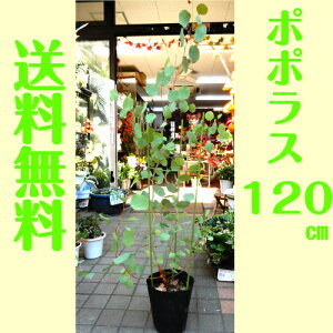 ユーカリ・ポポラス 6号ポット スワッグ作り ユーカリの木 約150センチ シンボルツリー