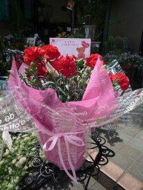 遅れてごめんね。母の日 プレゼント 送料無料  真っ赤なカーネーション鉢植え