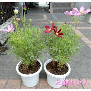 秋のお花 コスモス 秋桜 コスモス鉢植え2鉢セットでお届けします