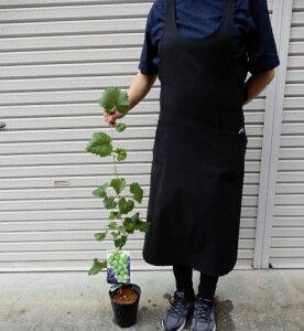 ブドウの苗木 シャインマスカット 5寸ポット苗 葉付き 送料無料 果実 家庭菜園