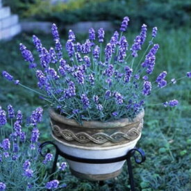送料無料 北海道のラベンダー苗 3個セット バイオレットメモリー 花穂が長い 香りが良い 9cmポット ハーブ 観賞用 花苗 おうち時間 彩