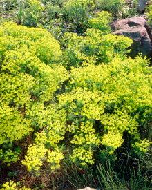 宿根草苗 ユーフォルビア キパリッシアス 草丈の低い 9cmロングポット
