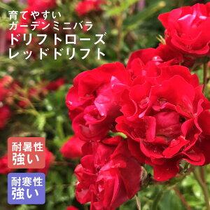 ドリフトローズ苗 レッドドリフト 9cmポット苗 育てやすいガーデンミニバラ