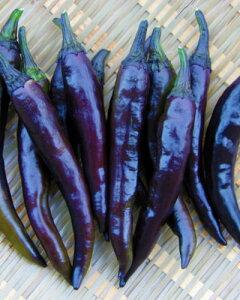 送料無料 接木野菜苗 3個セット 紫甘とうがらし 大和野菜 9cmポット苗