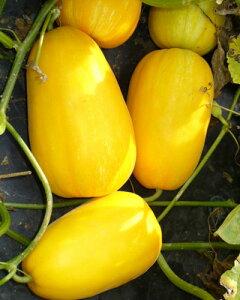 送料無料 接木野菜苗 3個セット 黄金まくわうり 大和野菜 9cmポット