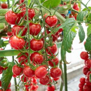 送料無料 接木野菜苗 6個セット うす皮鈴なりさくらんぼトマト(赤) ミニトマト 9cmポット苗
