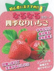 イチゴ苗 なるなる四季成りイチゴ セリーヌ 10.5cmポット