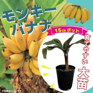 送料無料 モンキーバナナ苗 15cmポット大苗 草丈低くても結実 観葉植物としても 果樹苗 ベランダ栽培可 甘くておいしい おやつ果物