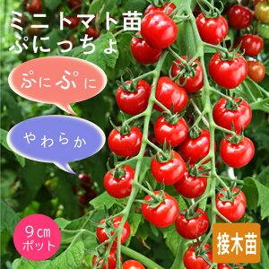送料無料 接木野菜苗 3個セット ミニトマト ぷにっちょ 9cmポット苗