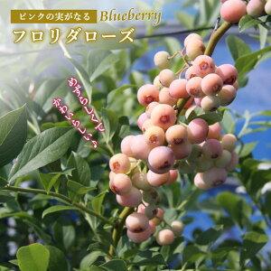 ブルーベリー 苗木 フロリダローズ(登録品種) ピンクの実