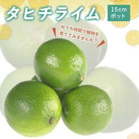 送料無料 ライム苗木 タヒチライム 15cmポット おうち時間 接木柑橘苗木