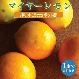 送料無料 レモン苗木 マイヤーレモン 15cmポット 挿し木苗 柑橘 苗