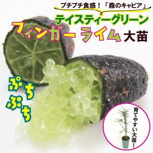 送料無料 フィンガーライム(緑)苗木 キャビアライム テイスティーグリーン 18cm鉢 柑橘 苗木
