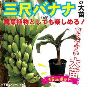 送料無料 三尺バナナ苗 15cmポット大苗 草丈低くても結実 トロピカルフルーツ 観葉植物としても 果樹苗 ベランダ栽培可 甘くておいしい おやつ果物